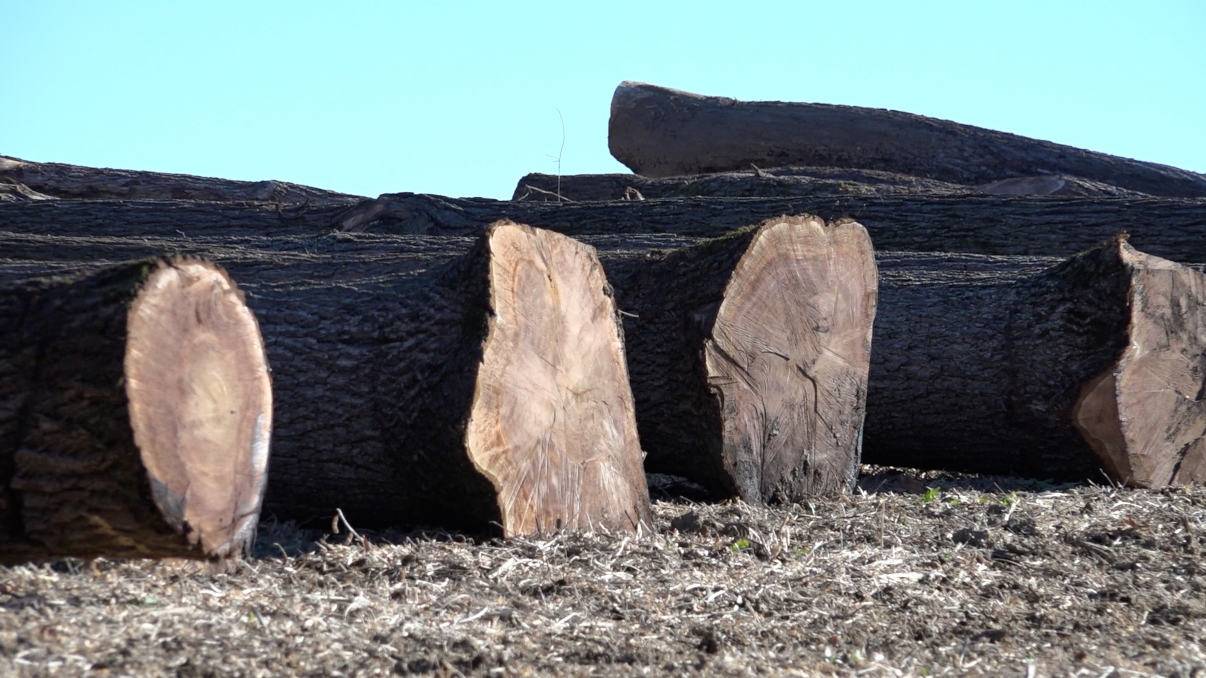 High Value Harvested Walnut Logs