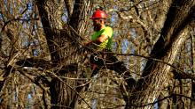Topping Walnut Trees, Harvesting Walnut Trees, High Value Walnut